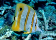 Lateral view of a Beaked Coralfish