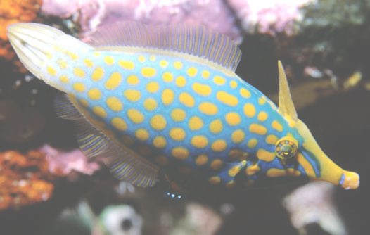 A Beaked Leatherjacket at the Great Barrier Reef