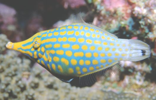 A Lateral view of Beaked Leatherjacket