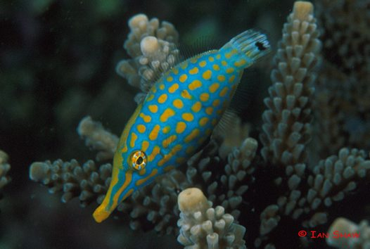 A Beaked Leatherjacket