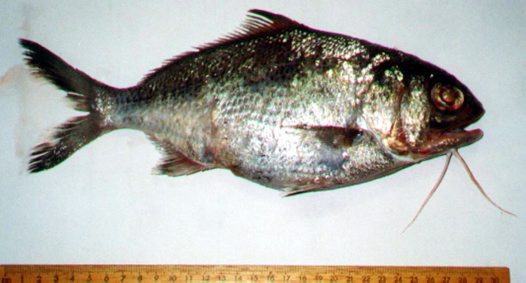 A Beardfish trawled off New South Wales