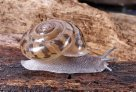 Kimberley land snail: Torresitrachia sp