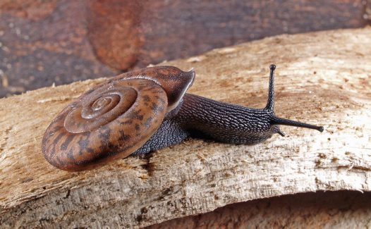 Kimberley land snail: Torresitrachia sp (2)