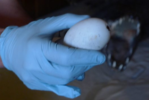 Egg from the crocodile case
