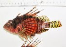 Zebra Lionfish Kermadec Islands