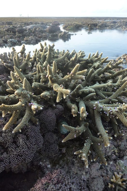 Branching Coral at Long Reef