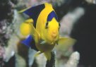 A Bicolor Angelfish at the Great Barrier Reef