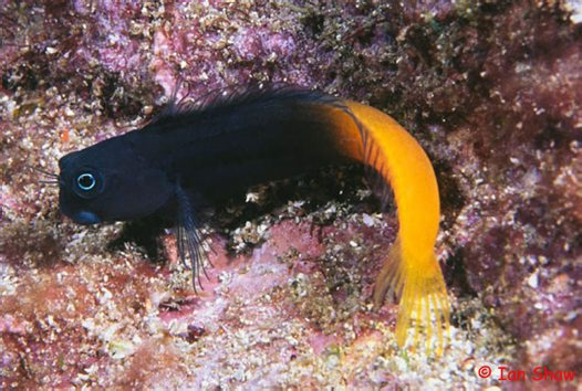 A Bicolor Blenny at North Solitary Island