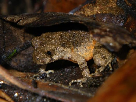 Orange-bellied Leaf Litter Toad Leptolalax croceus