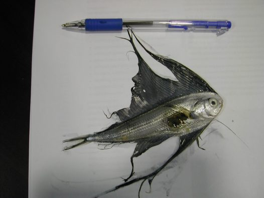 Southern Fanfish from gut of a Marlin