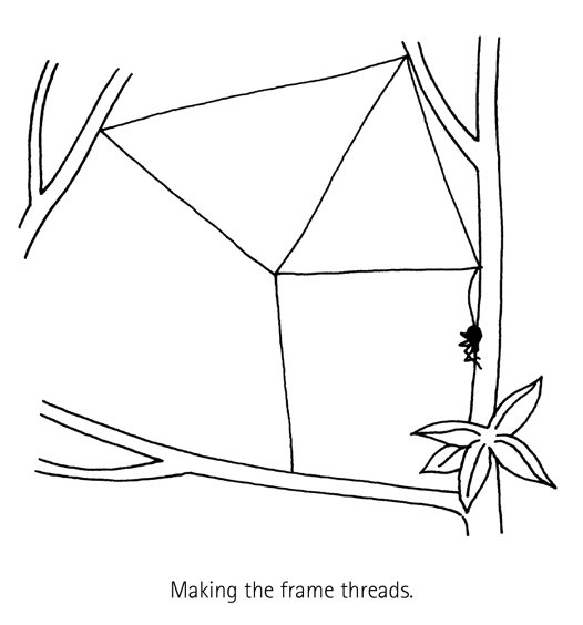 Spider Building A Web Diagram 4 Australian Museum