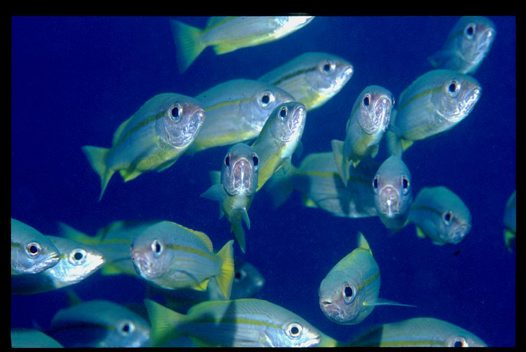 A school of Bigeye Snapper at Agincourt Reef