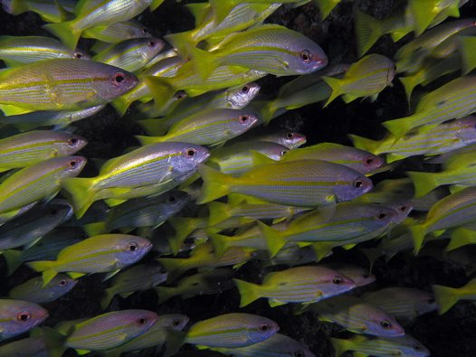A school of Bigeye Snapper at Steve's Bommie