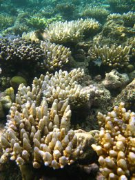 Coral bleaching at Young Reef (GBR)
