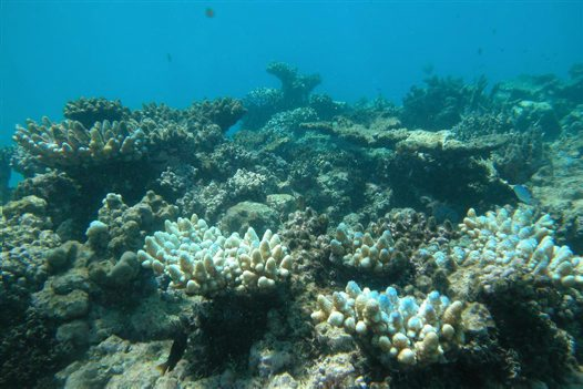 Coral bleaching at Little Kelso Reef (GBR)