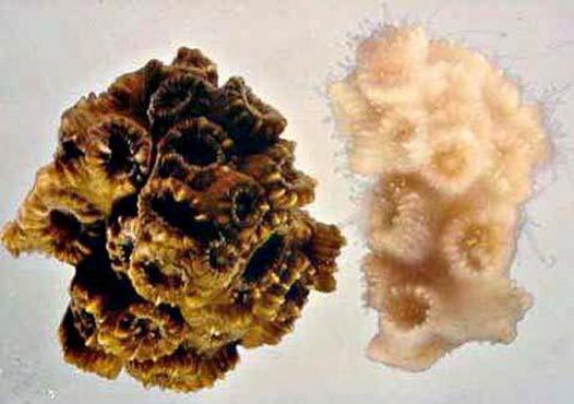 Healthy and bleached coral