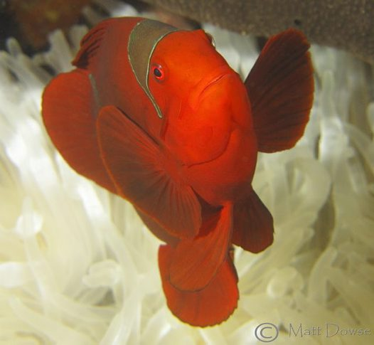 Spine-cheek Clownfish, Premnas biaculeatus