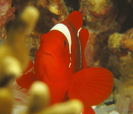 Spine-cheek Clownfish at Rabaul