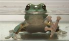 Green Tree Frog in water