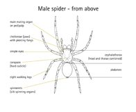 Diagram of Male Spider, view from above