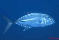 Bigeye Trevally at South Solitary Island