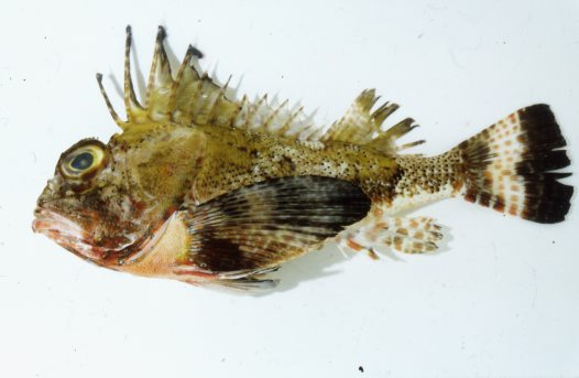 The neotype of the Bighead Gurnard Perch