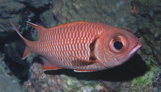 A Bigscale Soldierfish at Bougainville Reef