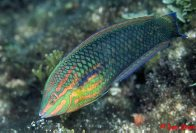 False-eyed Wrasse at North Solitary Island
