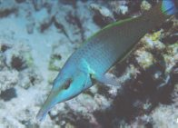 A Birdnose Wrasse at the Great Barrier Reef