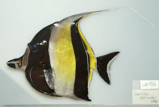 Moorish Idol from Yonge Reef