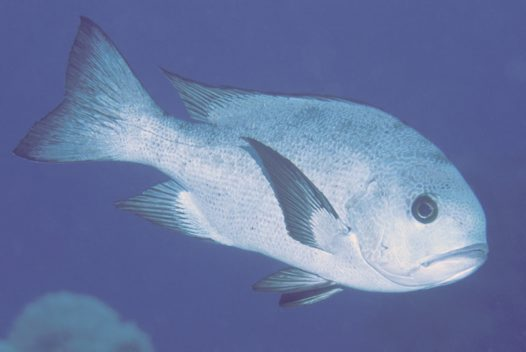 Black-and-white Snapper at the Cod Hole