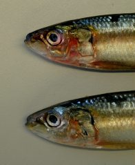 Scaly Mackerel heads