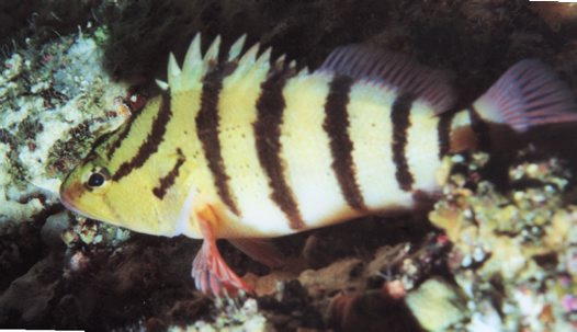 A Blackbanded Seaperch at Jervis Bay