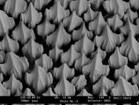 Swell Shark denticles, Cephalocyllium sp.