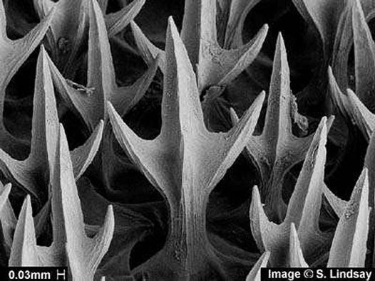 Brier Shark denticles, Deania calcea