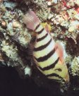 A Blackbanded Seaperch on the roof of a cave