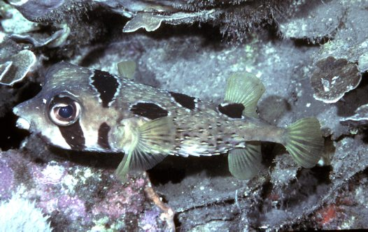 A Blackblotched Porcupinefish at Flores