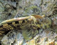 Pacific Leaping Blenny out of water
