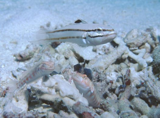 A Black-lined Sleeper Goby at the Osprey Reef