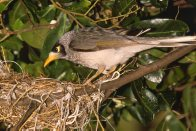 Noisy Miner in Tree by Nest