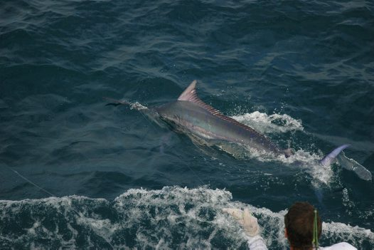 Black Marlin at the surface