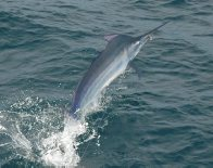 Black Marlin off the Pacific coast of Panama