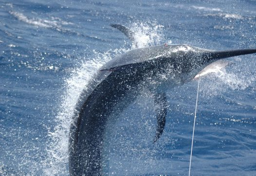 A Black Marlin off the Great Barrier Reef