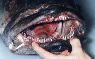 Mouth of a Black Rockcod