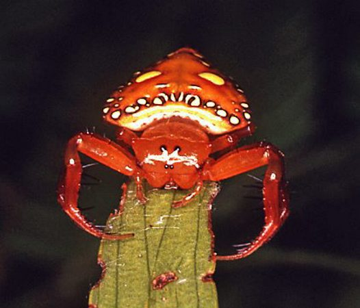 Front view of a Triangular Spider