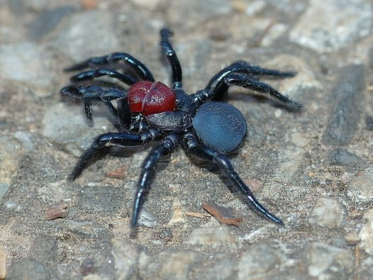 Male Red-headed Mouse Spider