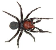 Red-headed Mouse Spider, Male