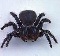 Front view of Red-headed Mouse Spider
