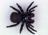 A female Red-headed Mouse Spider
