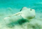 Common Stingaree, Trygonoptera testacea